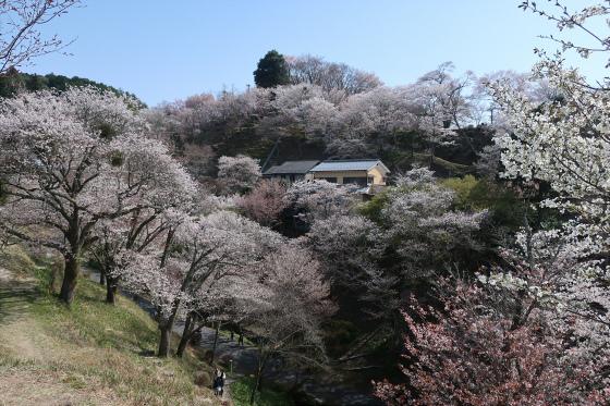 Yoshinoyama-sakura13