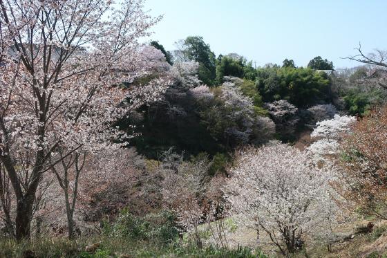 Yoshinoyama-sakura15