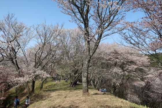 Yoshinoyama-sakura17