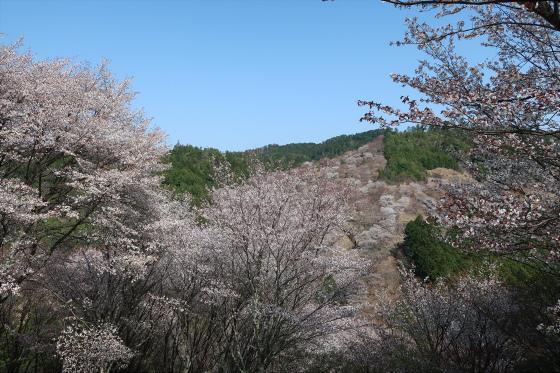 Yoshinoyama-sakura20