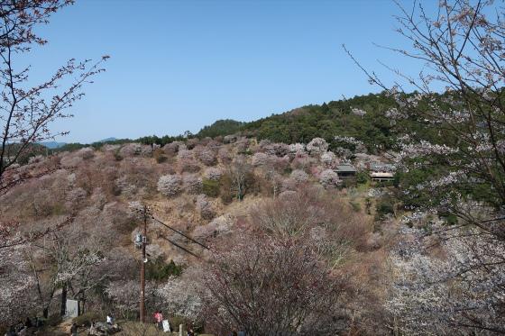 Yoshinoyama-sakura22