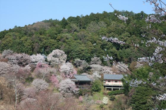 Yoshinoyama-sakura23