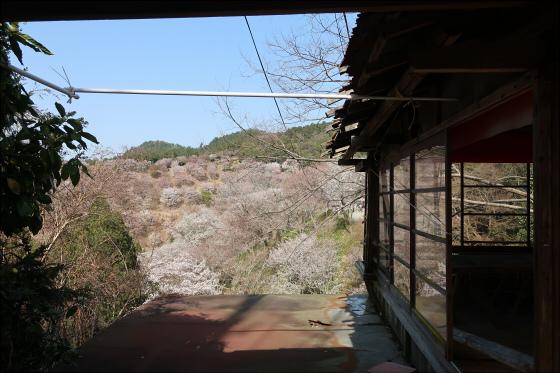 Yoshinoyama-sakura31