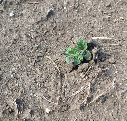 発芽ジャガイモ