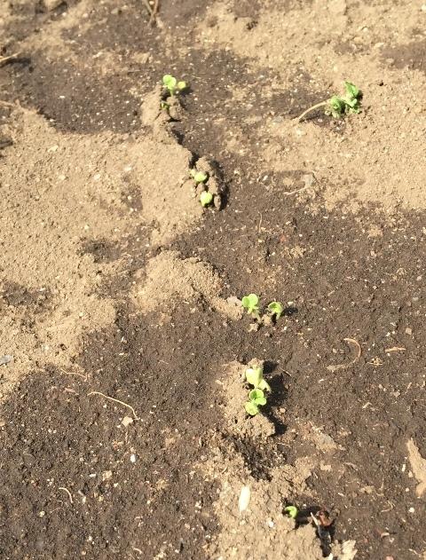 4日で発芽した小松菜