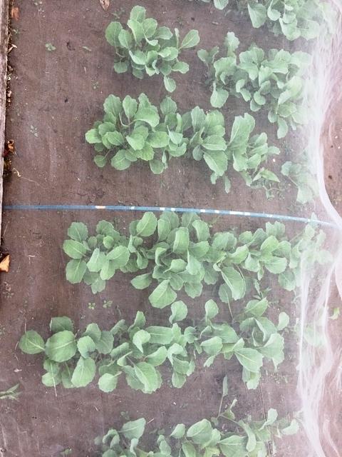 3月に種を蒔いたキャベツの苗
