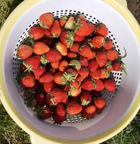 本日収穫したイチゴ