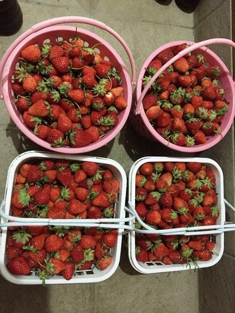 今日収穫したイチゴ
