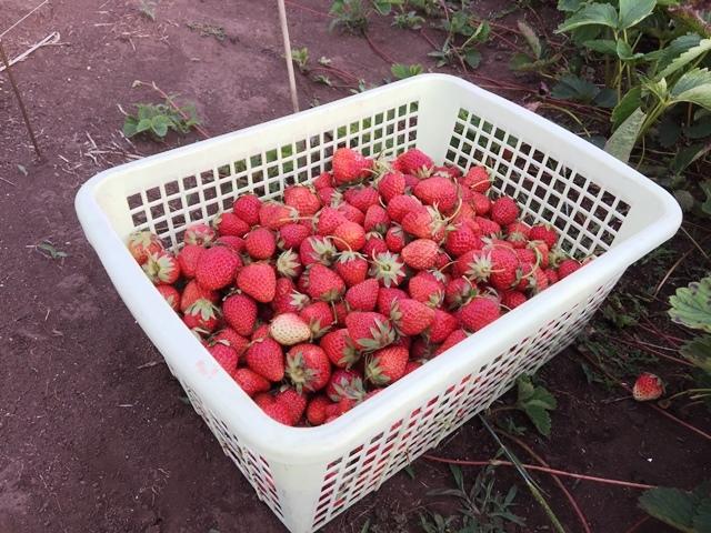 今日のイチゴの収穫