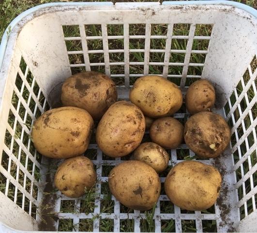 ジャガイモの試掘り