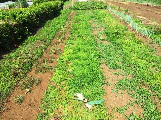 草を取る前のサトイモ畑
