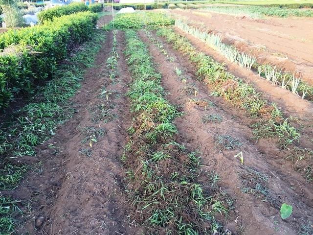 草を取った後のサトイモ畑