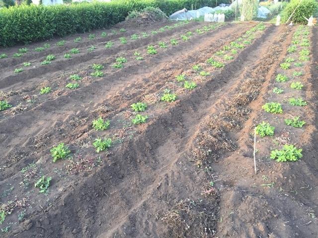 昨日草を取った落花生畑