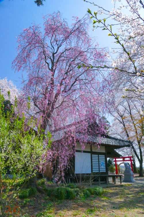 201803631桜_生品神社11
