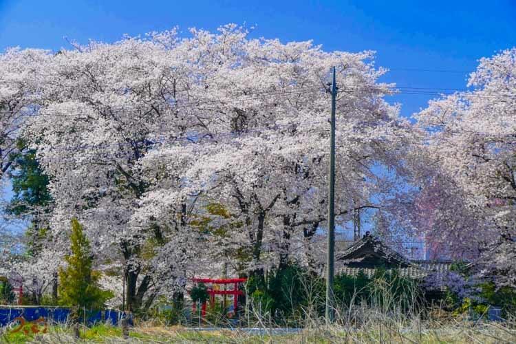 201803631桜_生品神社18