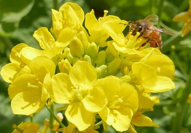 菜の花とハチ_20180331P_P1000750