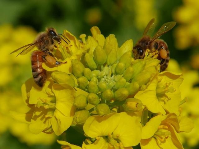菜の花とハチ_20180331P_P1000779