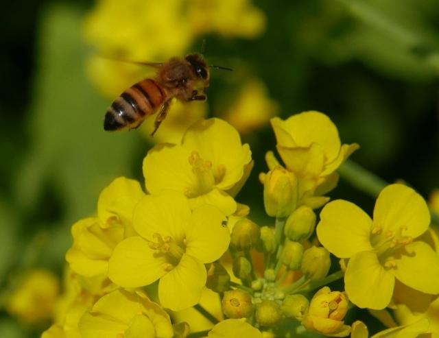 菜の花とハチ_20180331P_P1000787