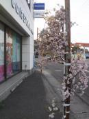 店の桜blog