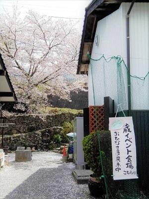 さこだの桜まつり (1)
