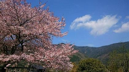 さこだの桜まつり (3)