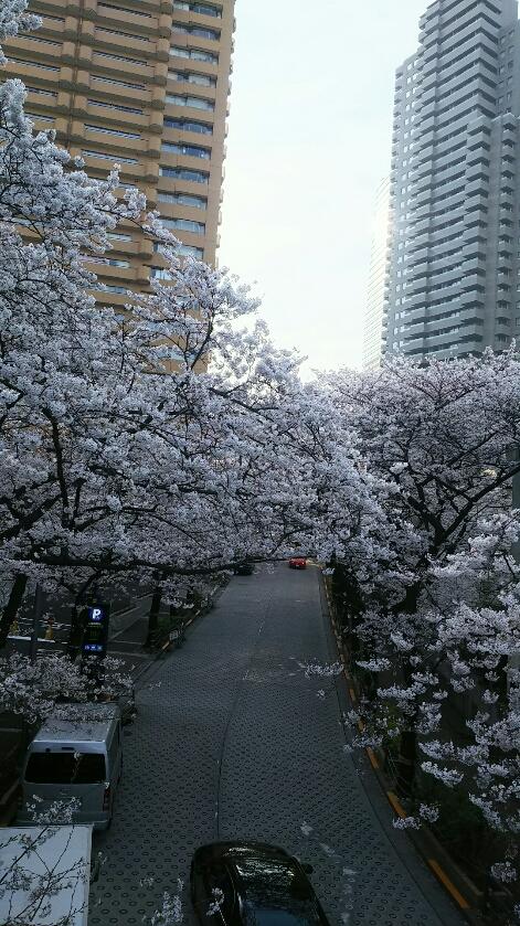 3月26日の桜