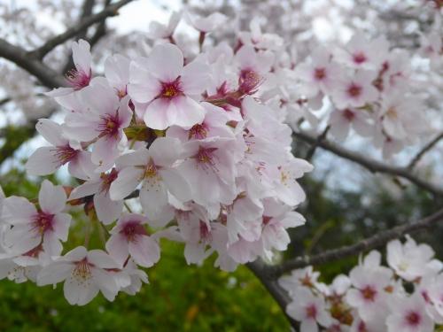 百合山の桜2018-02