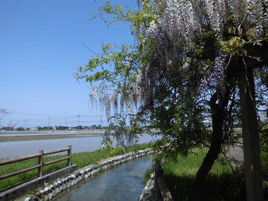 afujihana0429-11.jpg