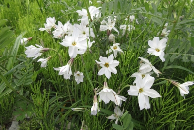 天竜 薄水色の小花