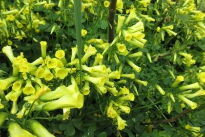 天竜の黄花