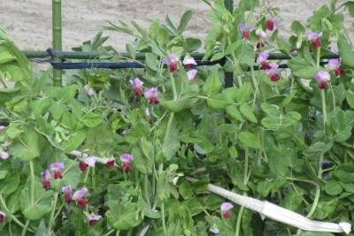 天竜の豌豆の花