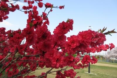 磐田、近所の公園。赤い花