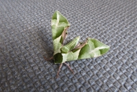 5月24日の緑の蛾