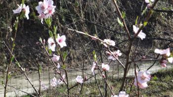 アーモンドの花が咲き始める