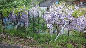 フジの花が満開