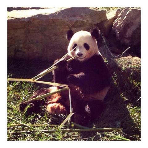 親族約50名で子パンダを見に行く