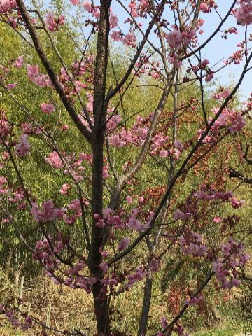 4月2日陽光桜