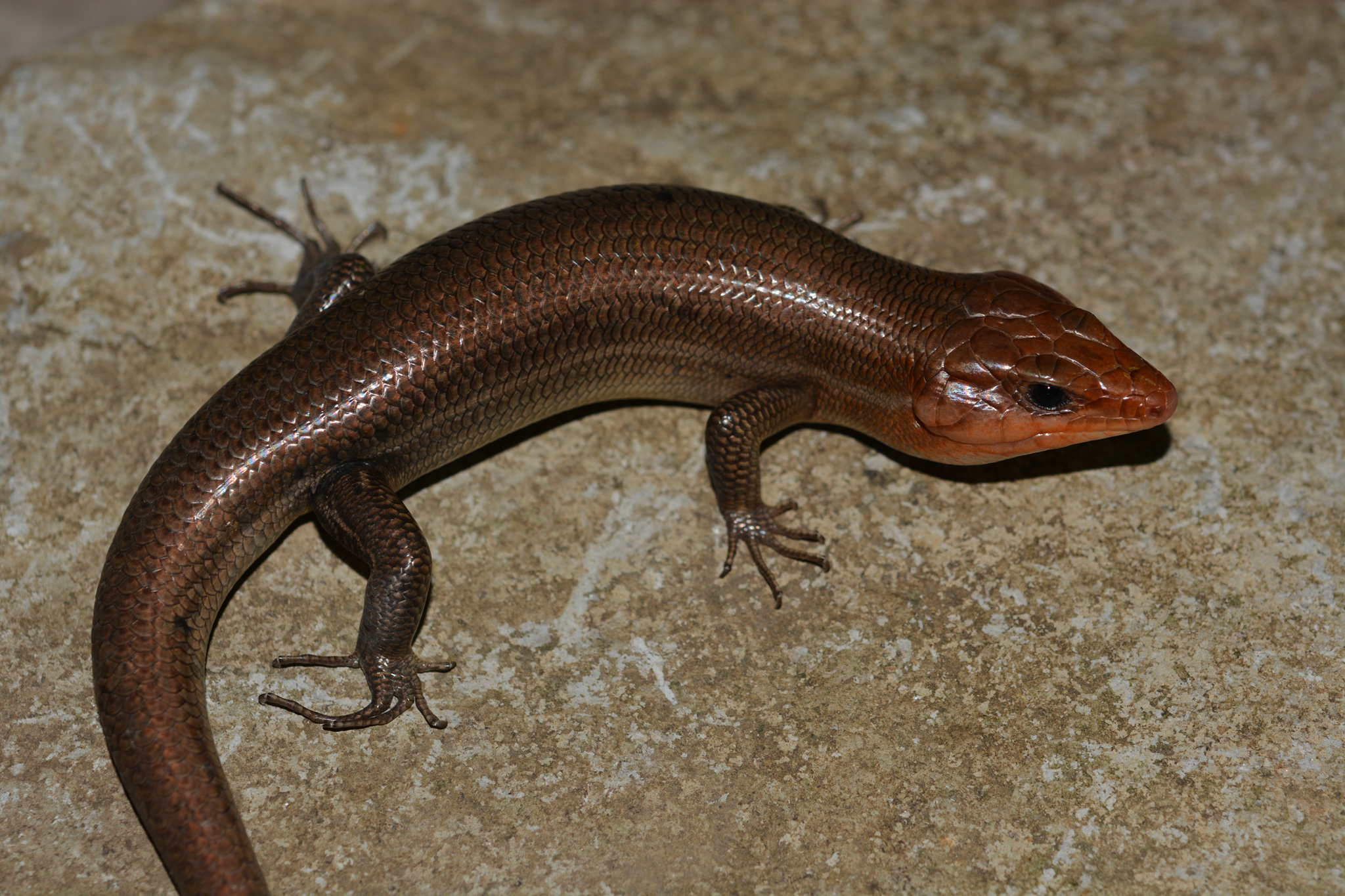 laticeps_male01.jpg
