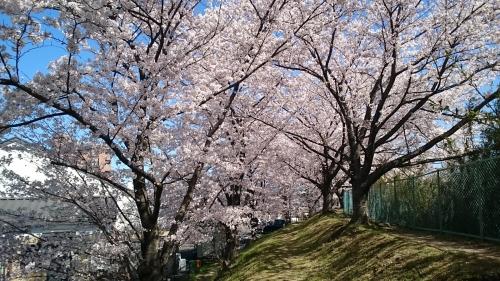 2018年尾張旭市の桜