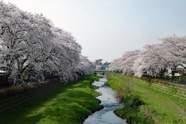 野川の桜20180329 (12)