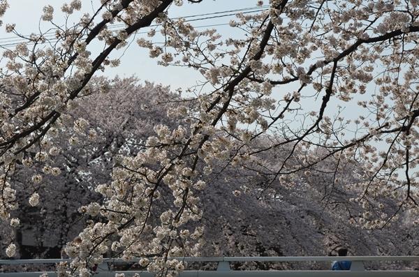 野川の桜20180329 (10)
