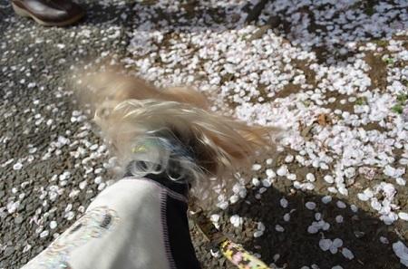 野川の桜20180329 (8)