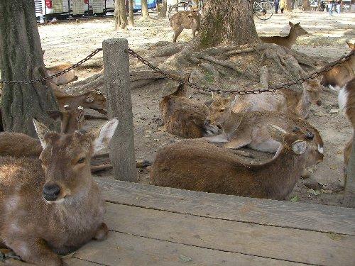 201804031247鹿の群れ休息①