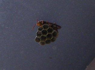201805031026アシナガバチの巣①-1