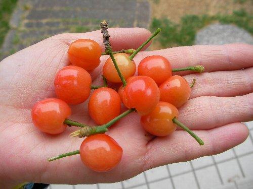 201805021111サクランボ収穫④-1