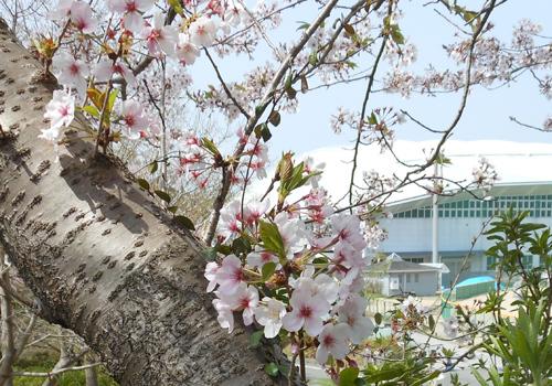 春野運動公園、桜