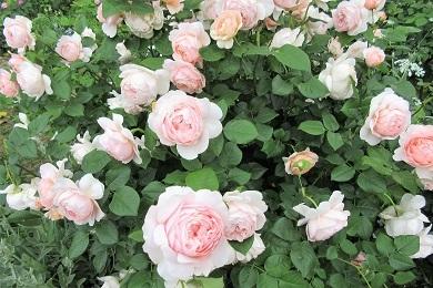 咲き誇ろバラ2
