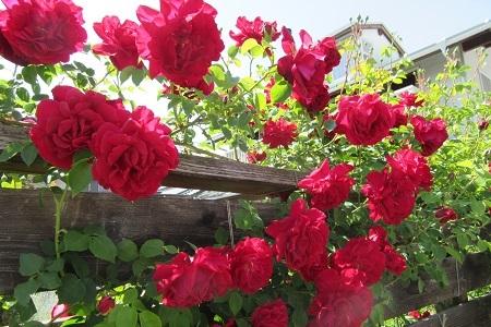 赤いバラがたくさん!