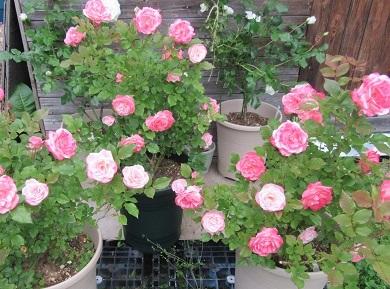 桜霞もたくさん咲いて