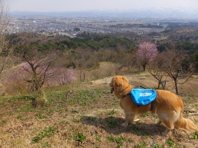春日山城跡2018.4.1 087
